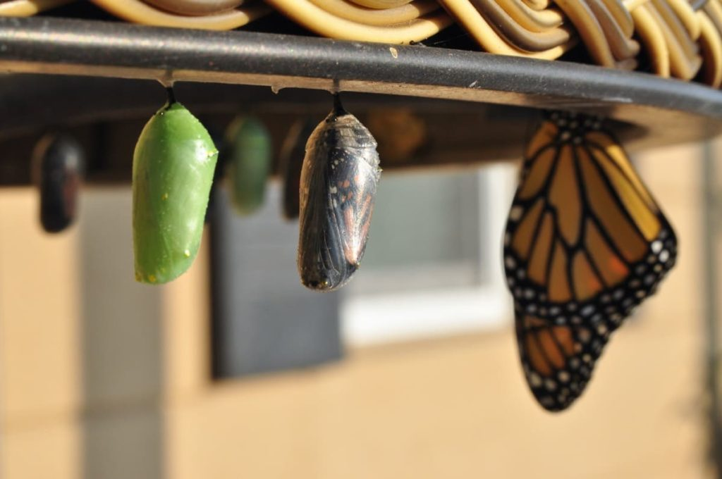 best practices to raise monarchs buy a variety of habitats