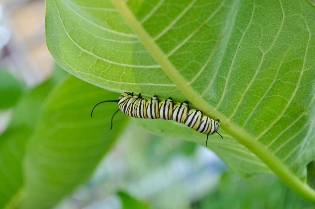 best practices to raise monarchs keep it sanitary