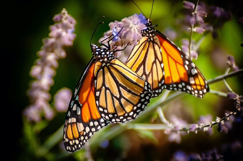 best practices to raise monarchs be a good steward of your hobby
