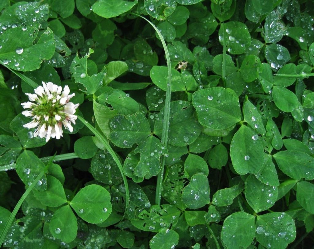white clover beneficial weeds that could become your new favorite flower