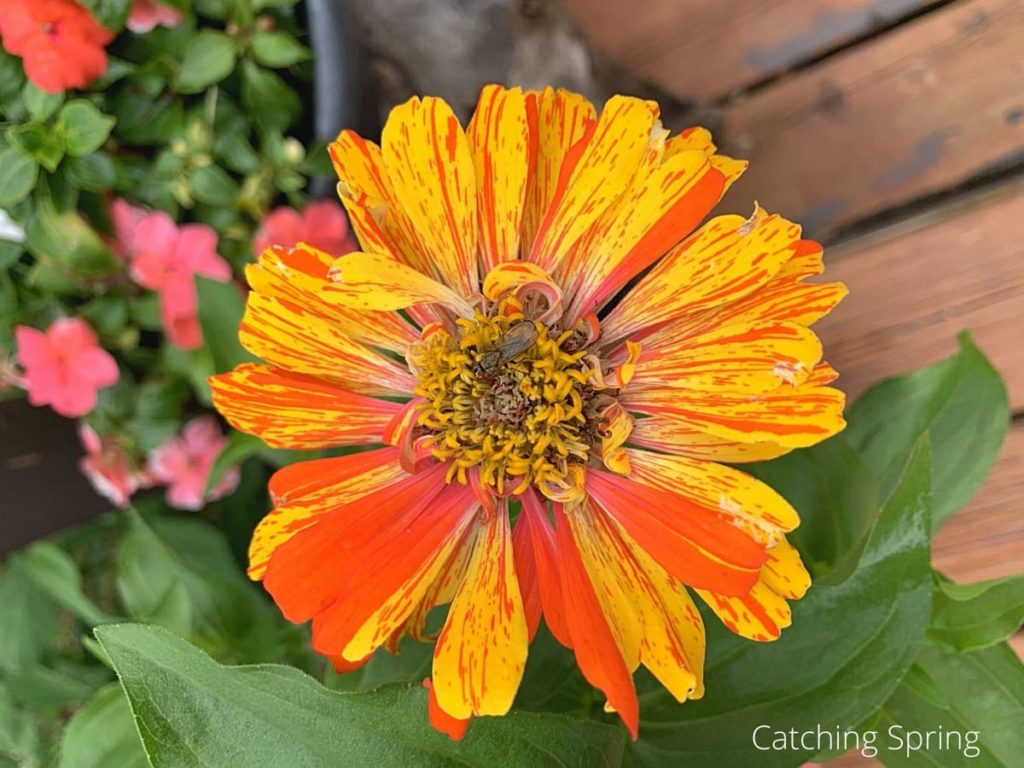 seeds are easy to collect why you need the beautiful zinnia in your yard