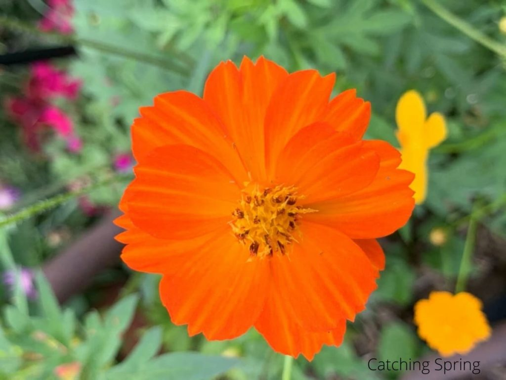 cosmos flowers you'll want to save seeds from