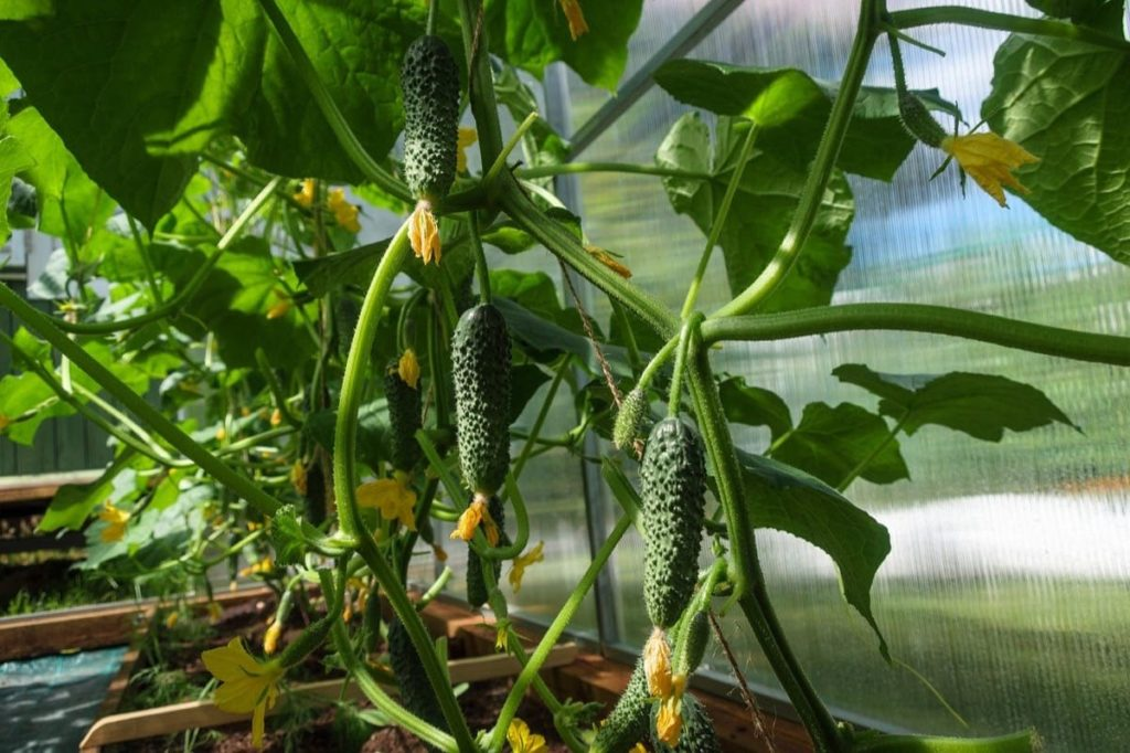 cucumbers container vegetables you can grow in containers