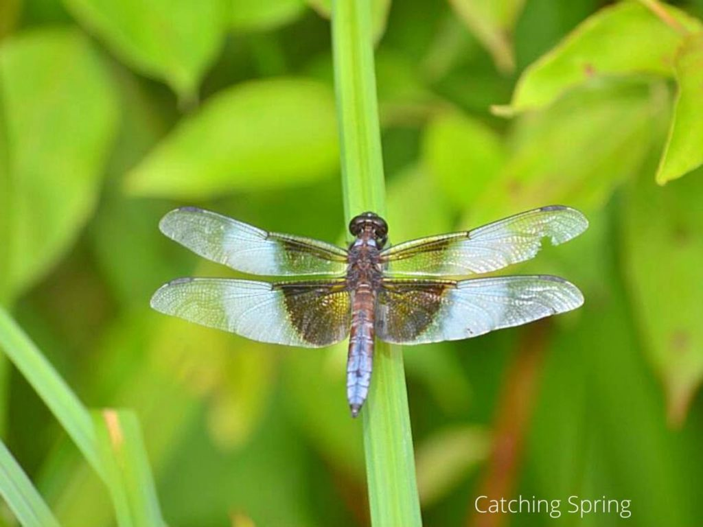 garden pests you may want to protect dragonfly or damselfly