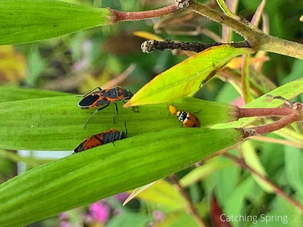 the truth about valuable milkweed it supports a huge insect ecosystem