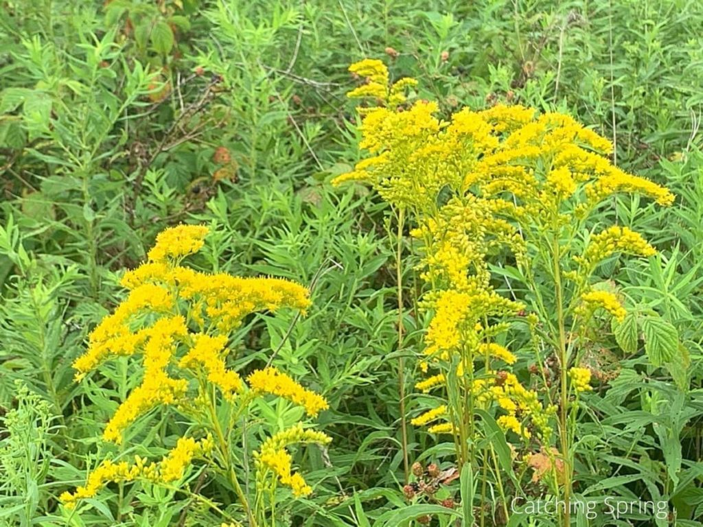goldenrod beneficial weeds that could become your new favorite flower