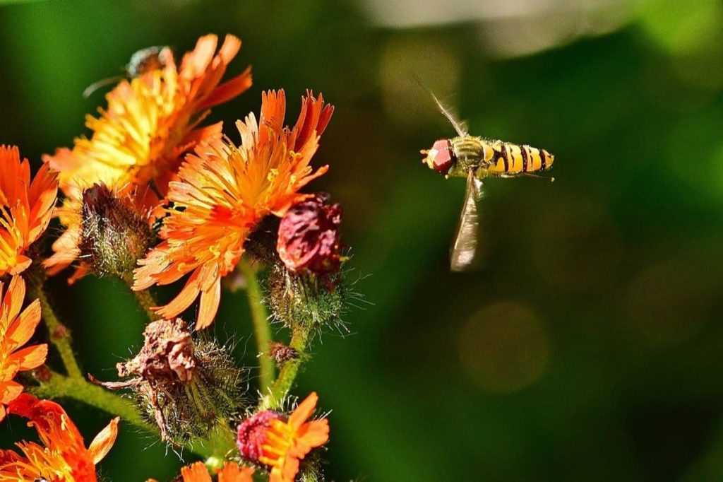 garden pests you may want to protect hoverfly