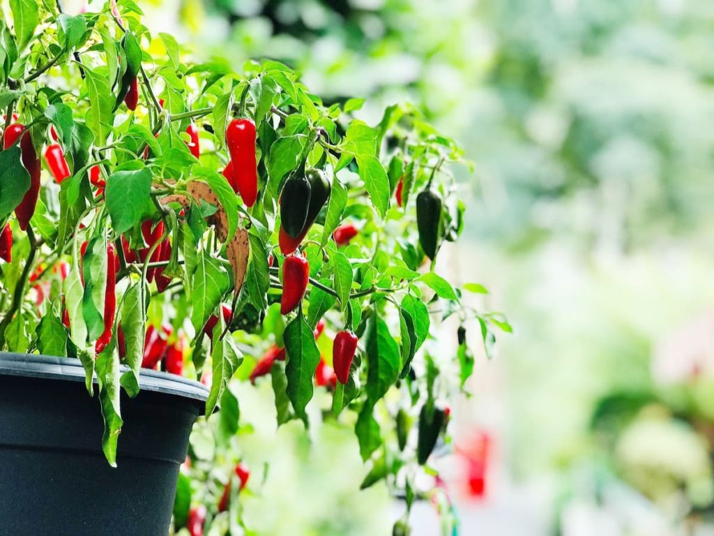 jalapeños container vegetables you can grow in containers