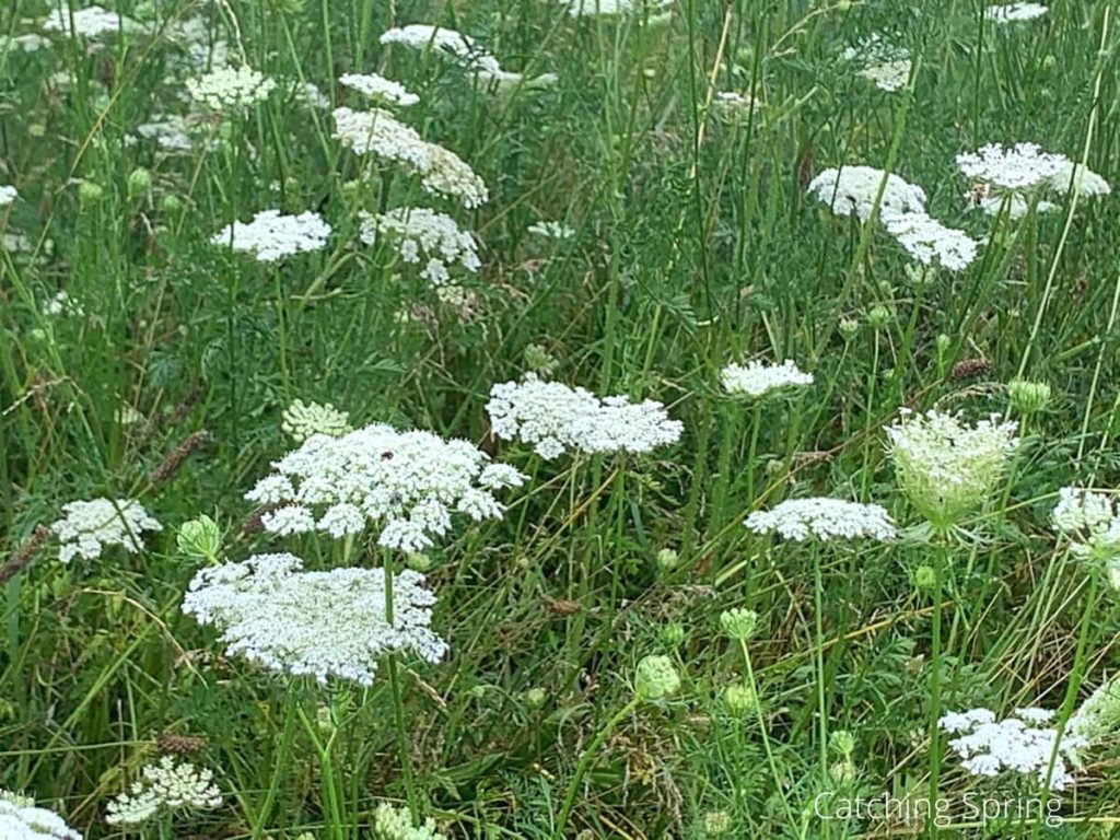 queen Anne's lace beneficial weeds that could become your new favorite flower