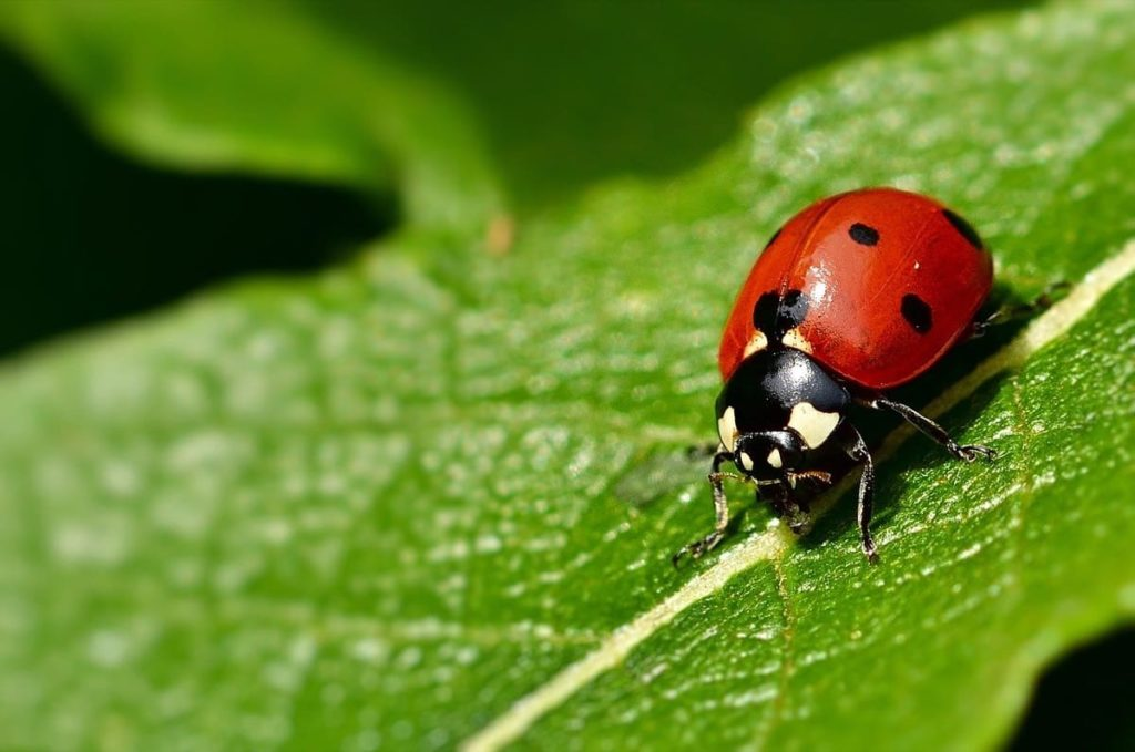 garden pests you may want to protect ladybug or ladybird beetle