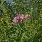 learn valuable truths about milkweed