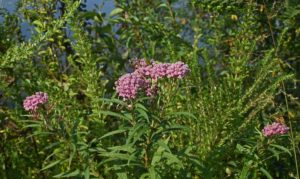 6 Milkweed Facts – Learn the Truth About This Valuable Plant