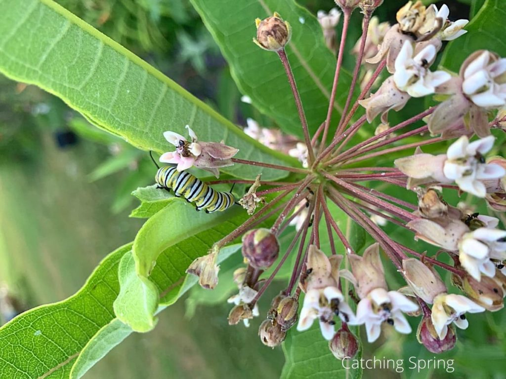 best practices to raise monarchs plants milkweed and nectar flowers