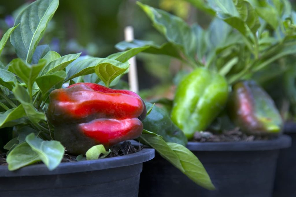 sweet container peppers vegetables you can grow in containers
