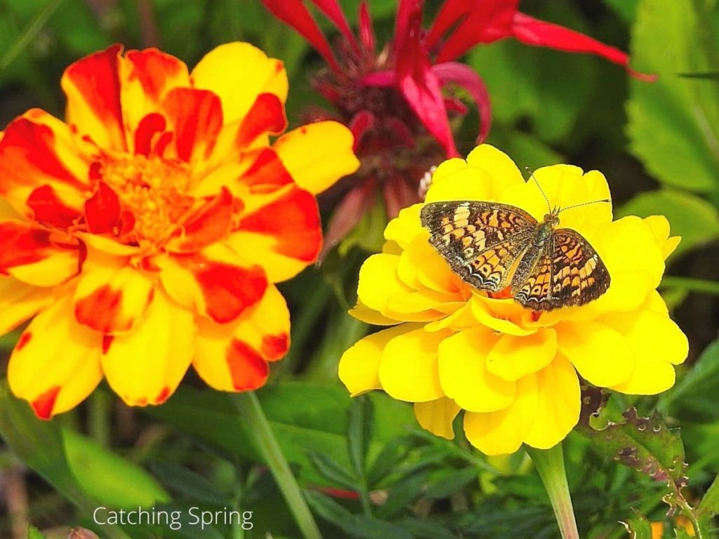 why you need the beautiful zinnia in your yard pollinators absolutely love it