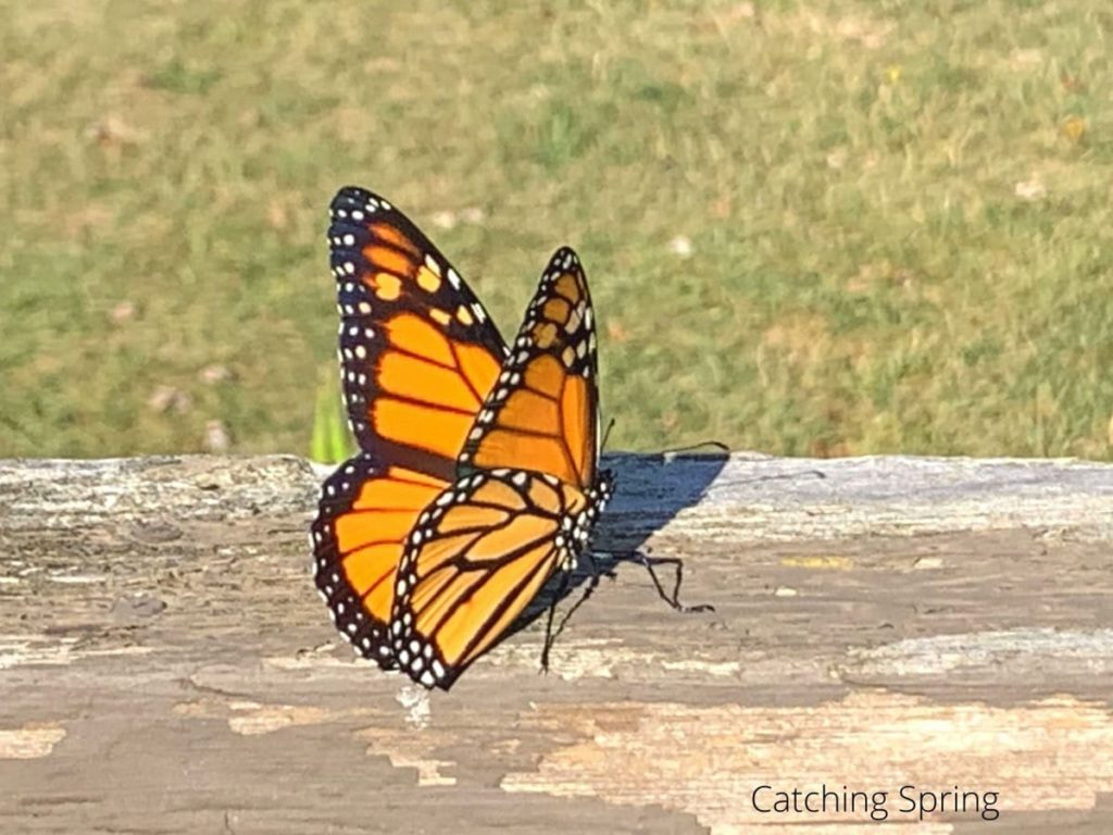 best practices to raise monarchs how to release