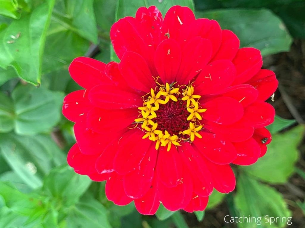 they last all season long why you need the beautiful zinnia in your yard