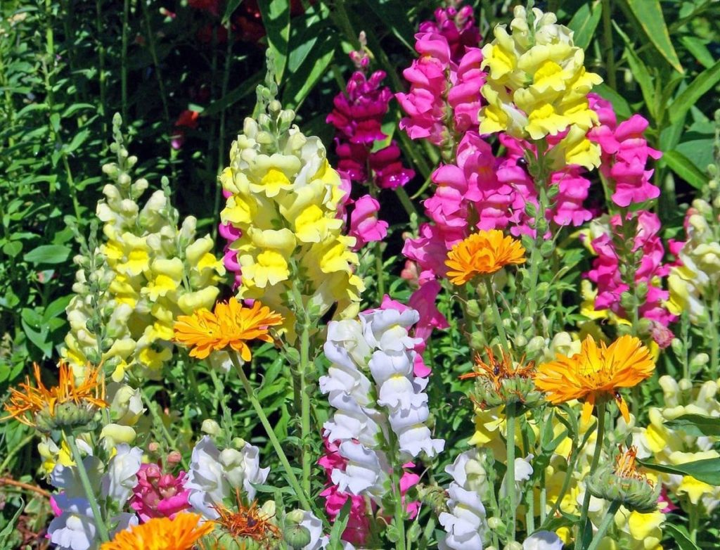 snapdragon flowers you'll want to save seeds from