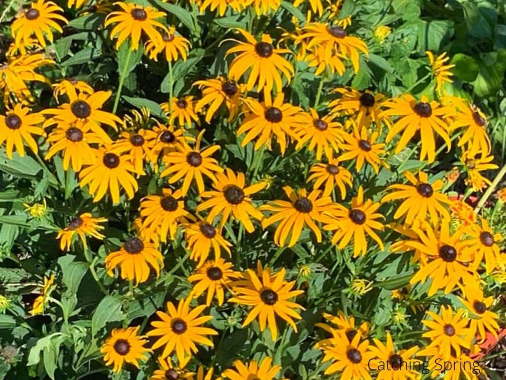 black-eyed Susan flowers you'll want to save seeds from