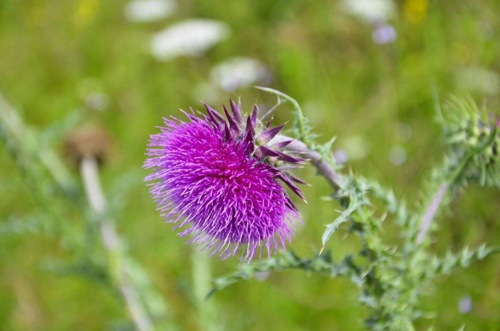 thistle beneficial weeds that could become your new favorite flower