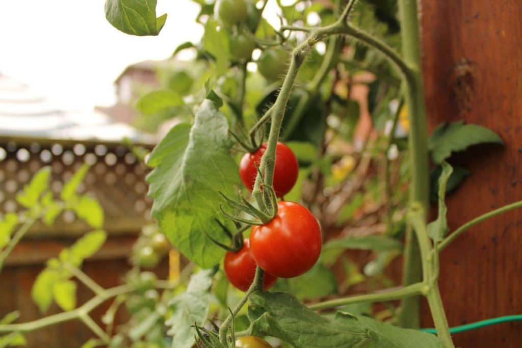 tomatoes container vegetables you can easily grow in containers