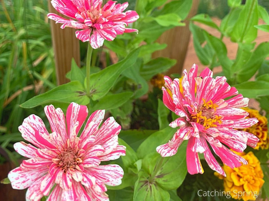 there's a variety for every mood why you need the beautiful zinnia in your yard