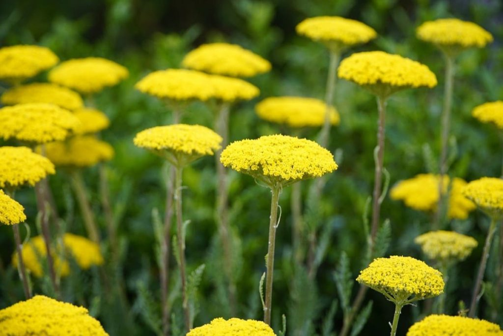 yarrow beneficial weeds that could become your new favorite flower