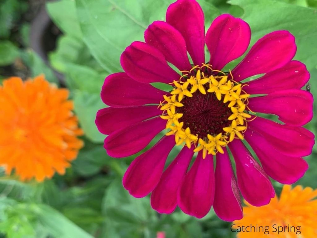 zinnia flowers you'll want to save seeds from