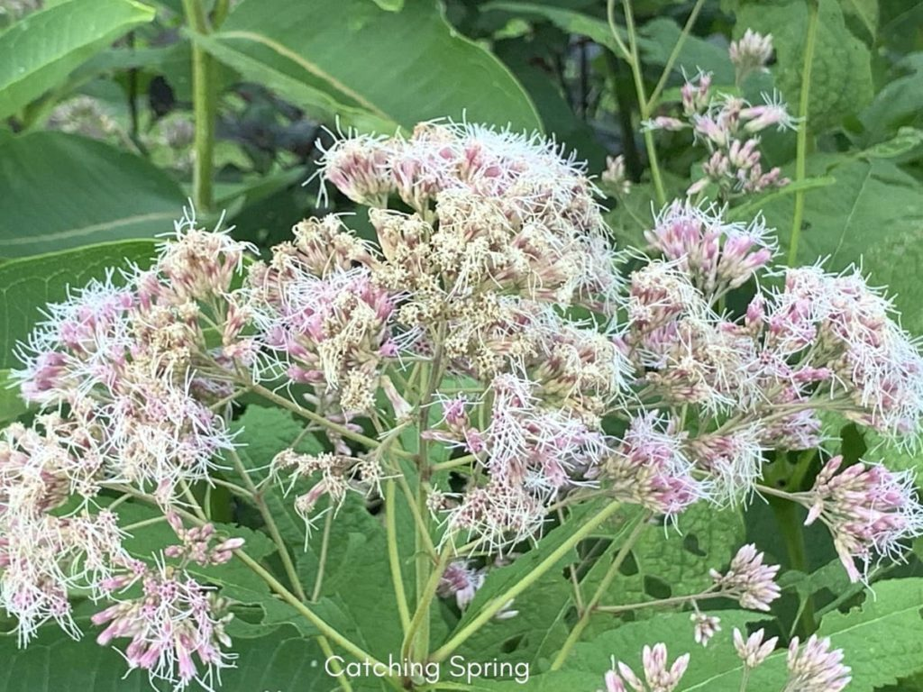 best fall flowers for pollinators and beauty Joe-Pye weed