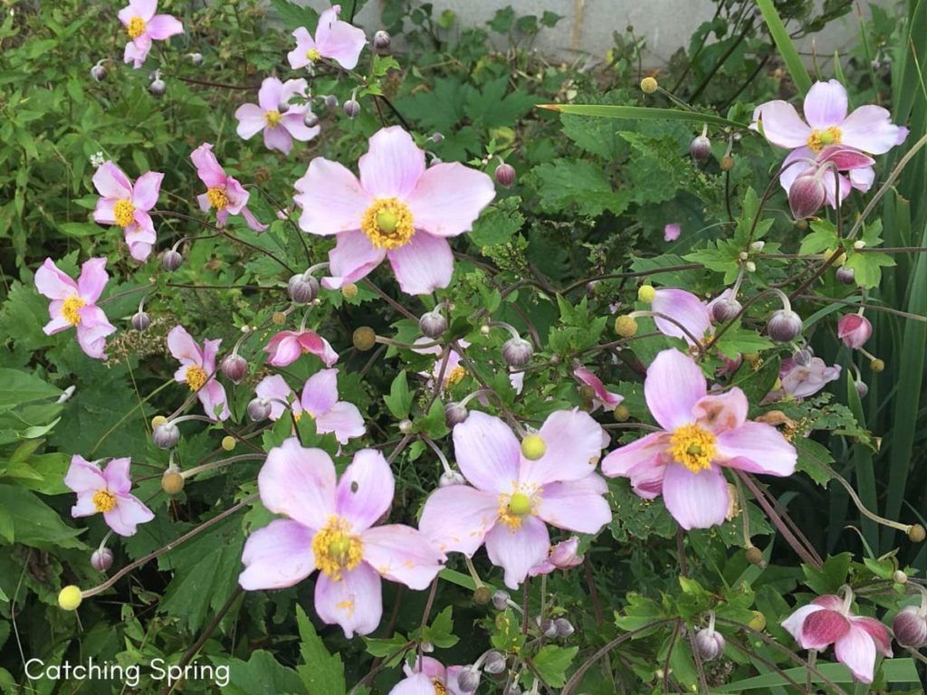 best fall flowers for pollinators and beauty Japanese anemone