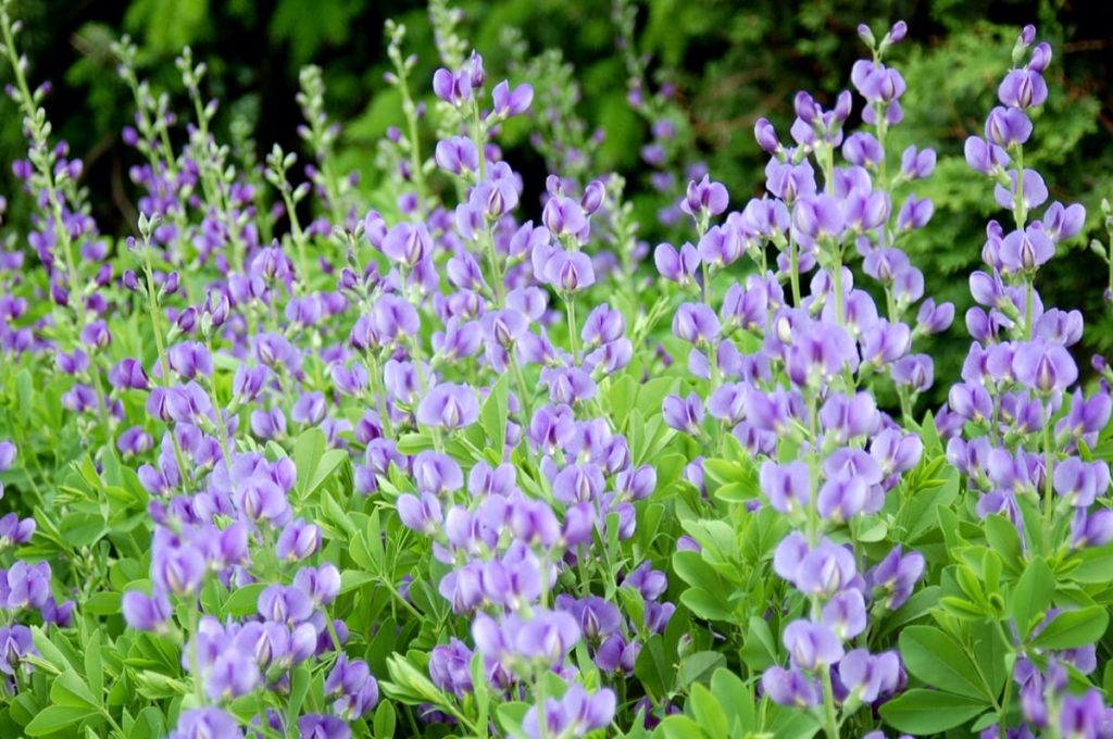 beautiful native plants you need for your Midwest garden baptisia