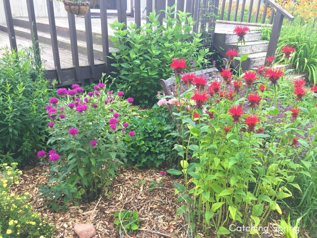 beautiful native plants you need for your Midwest garden bee balm