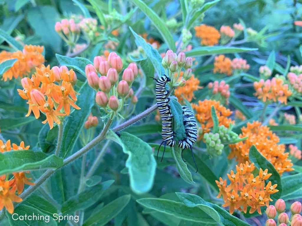 beautiful native plants you need for your Midwest garden butterfly weed