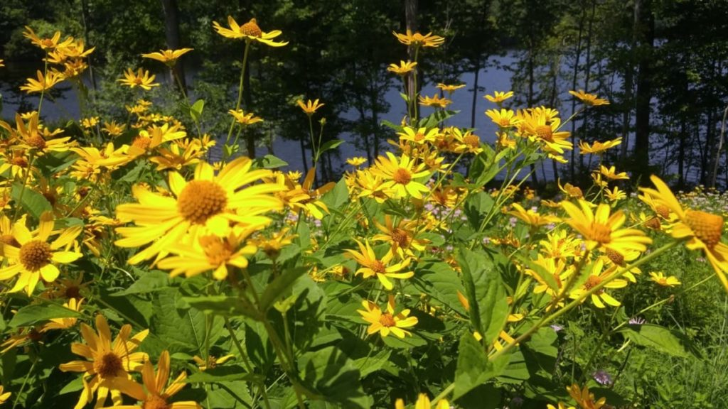 best fall flowers for pollinators and beauty cutleaf coneflower