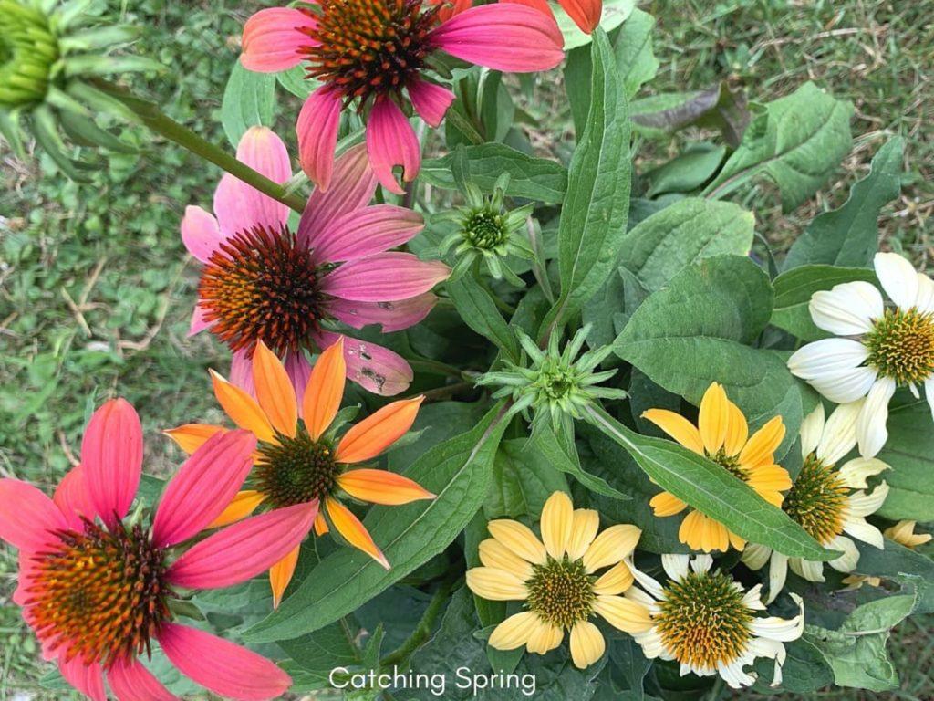 beautiful native plants you need for your Midwest garden coneflower