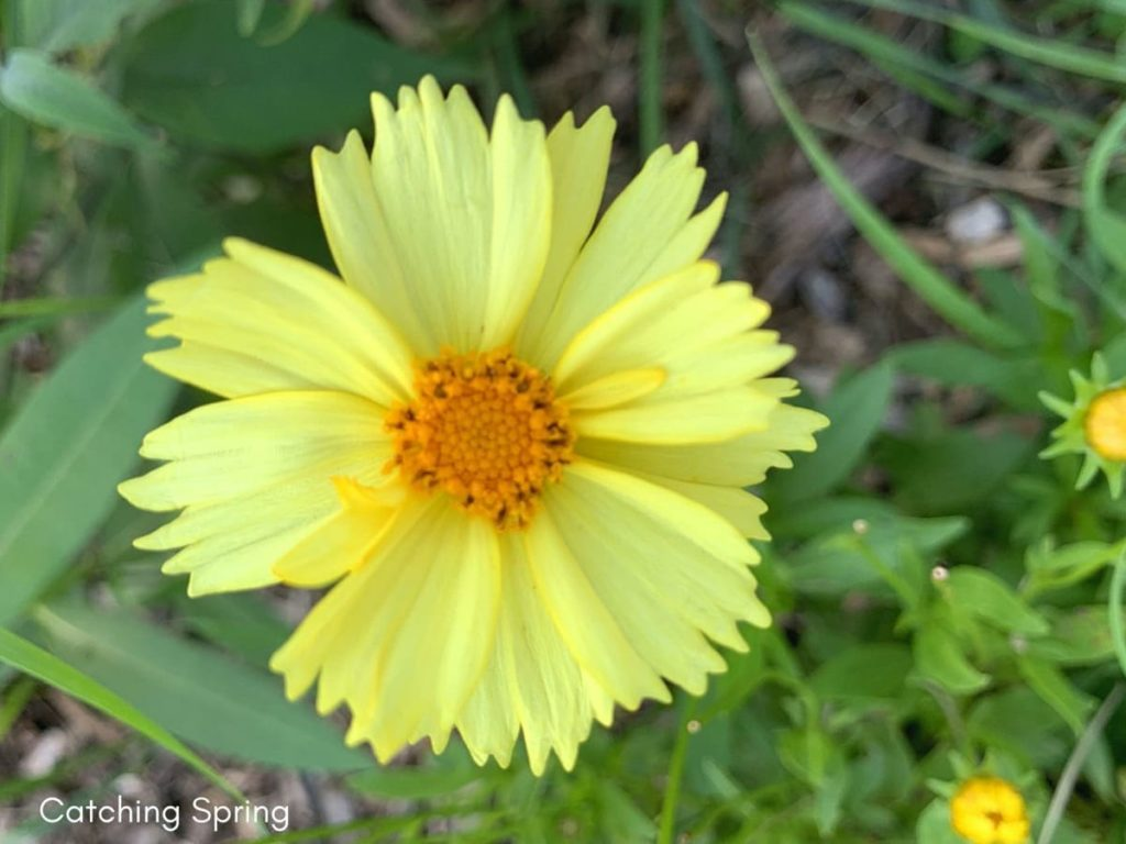August flowers that are blooming right now coreopsis