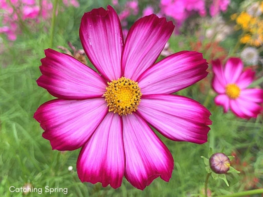 August flowers that are blooming right now cosmos
