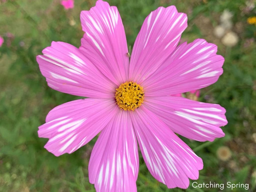 best fall flowers for pollinators and beauty cosmos