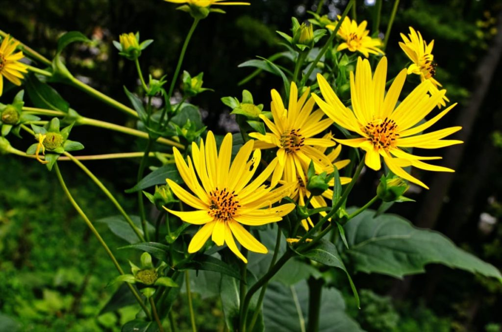 best fall flowers for pollinators and beauty cup plant
