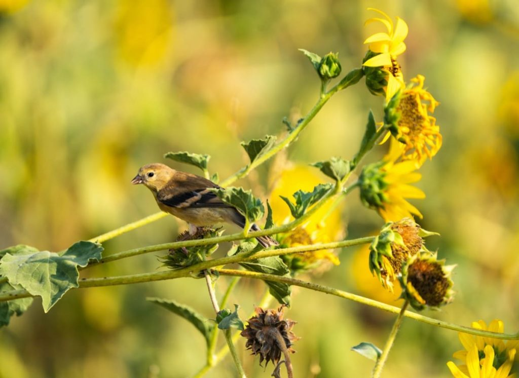 Important ways to help migrating birds this fall don't deadhead your flowers