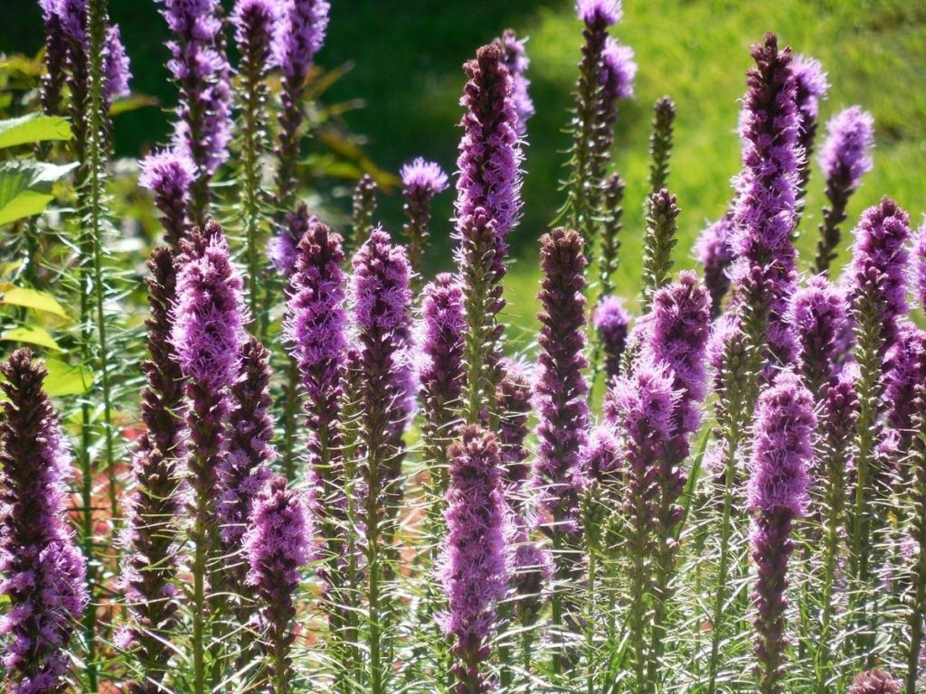 beautiful native plants you need for your Midwest garden gayfeather
