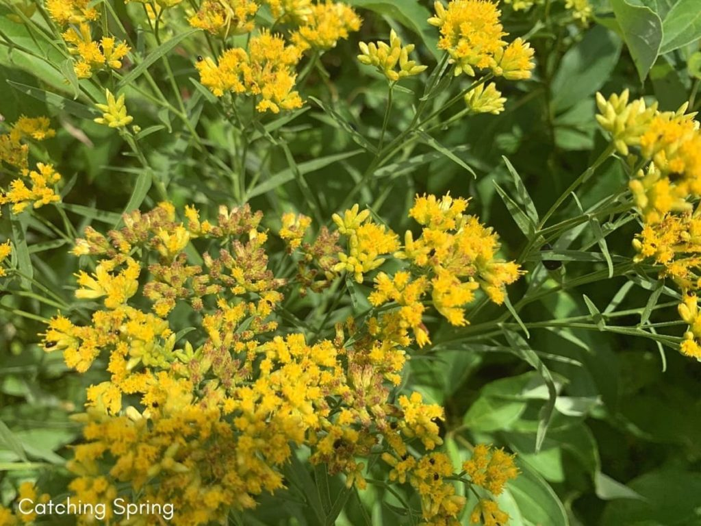 best fall flowers for pollinators and beauty goldenrod