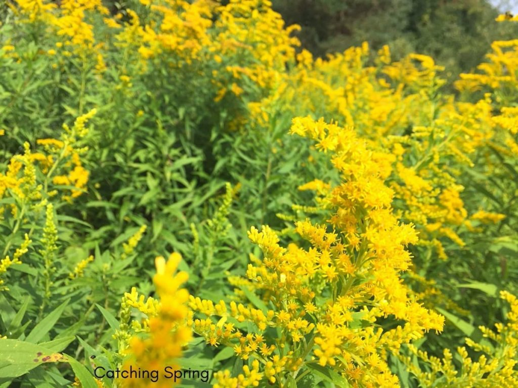 beautiful native plants you need for your Midwest garden goldenrod