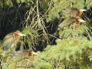 how to create an inviting oasis for backyard birds green herons in pine trees plant trees