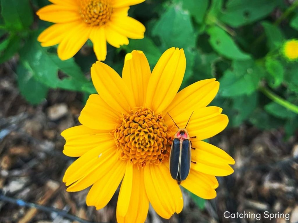best fall flowers for pollinators and beauty heliopsis