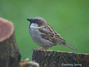 How to Deter the House Sparrow – 5 Easy and Natural Steps