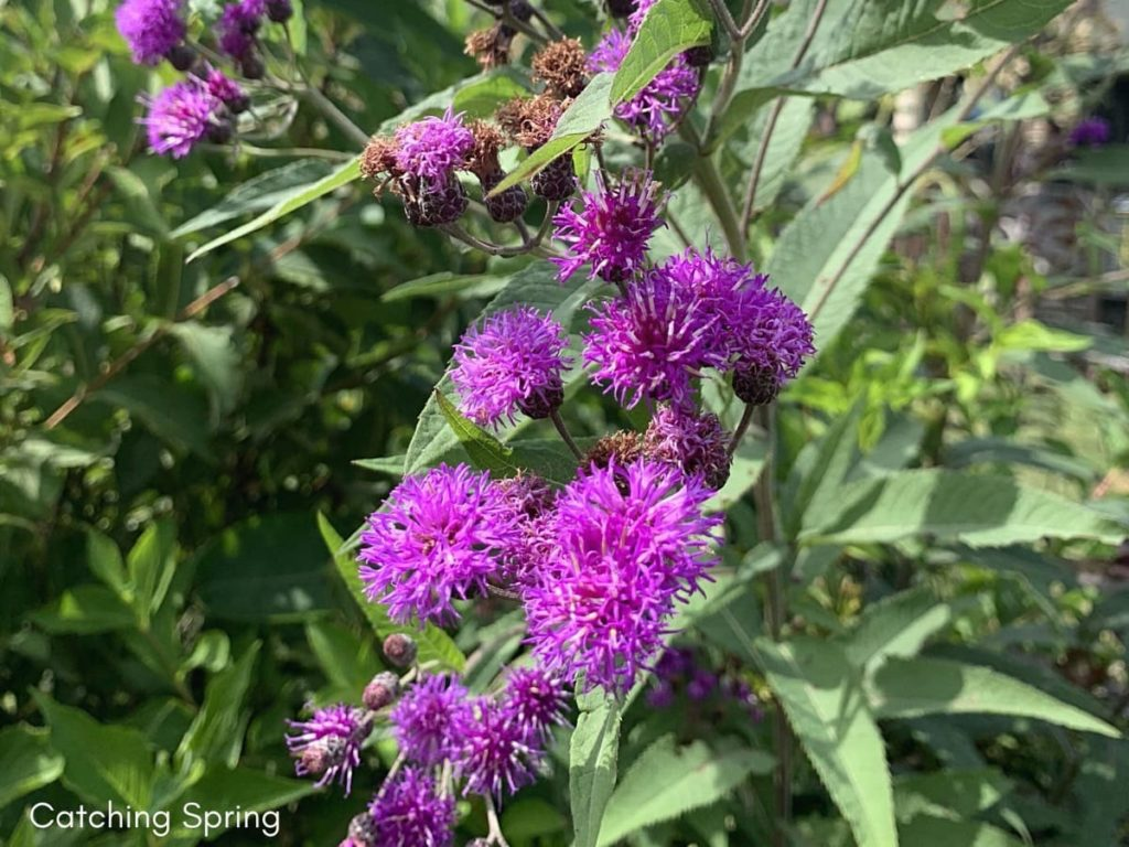 best fall flowers for pollinators and beauty ironweed