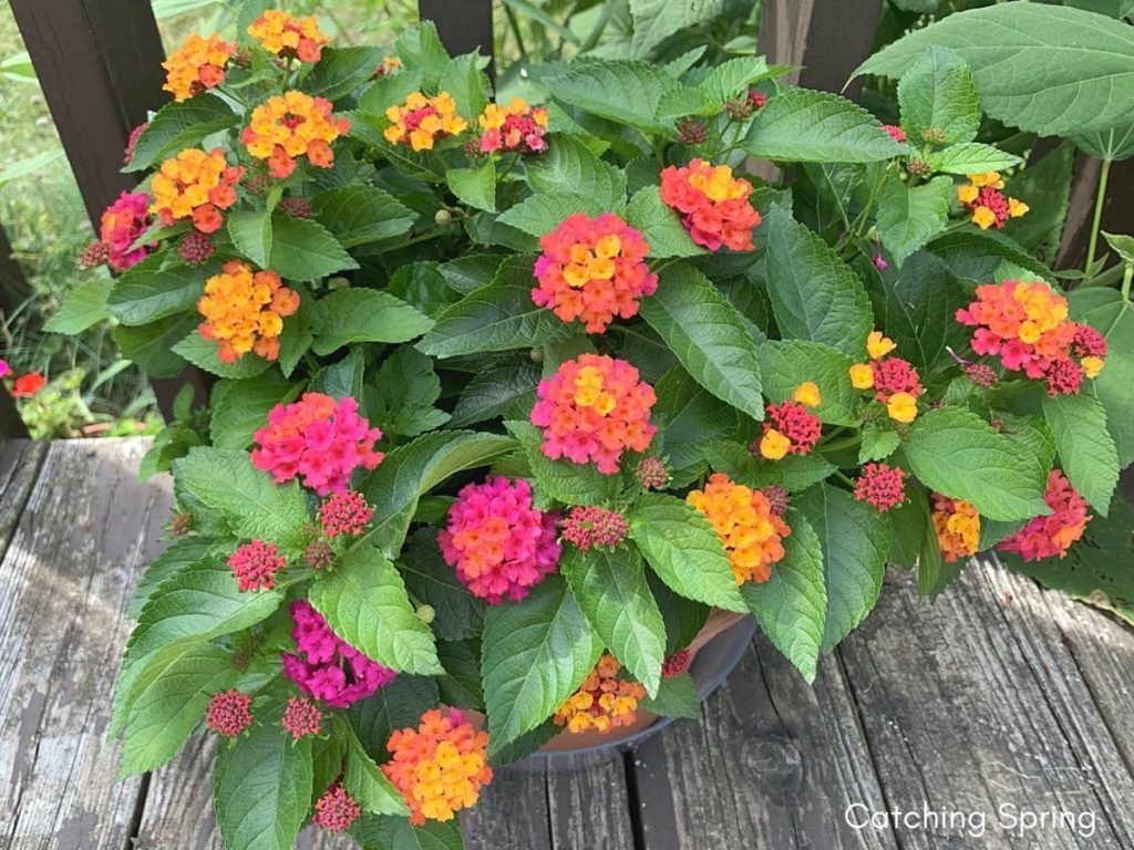 August flowers that are blooming right now lantana
