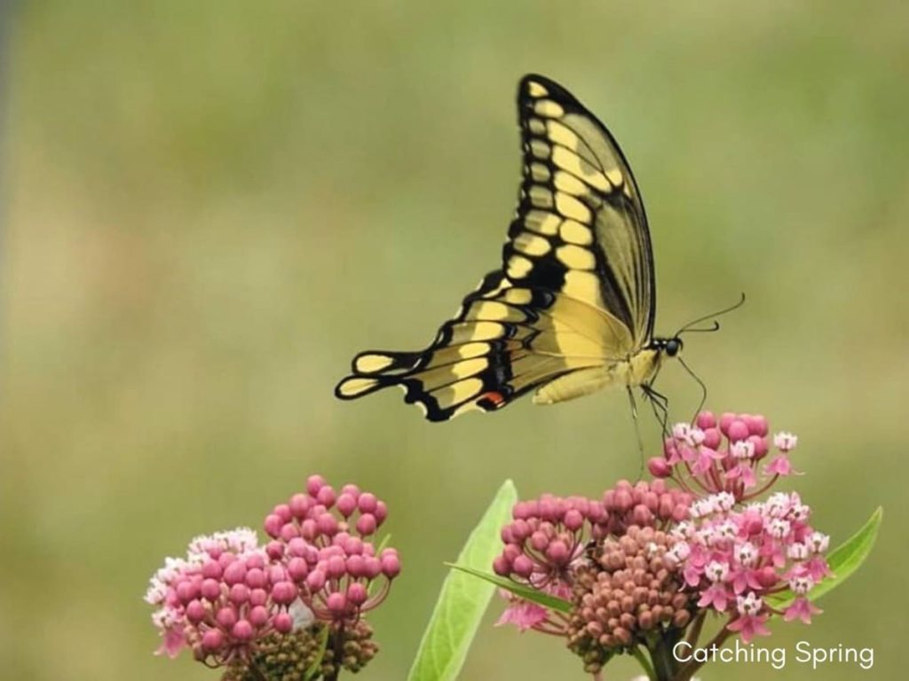 August flowers that are blooming right now swamp milkweed