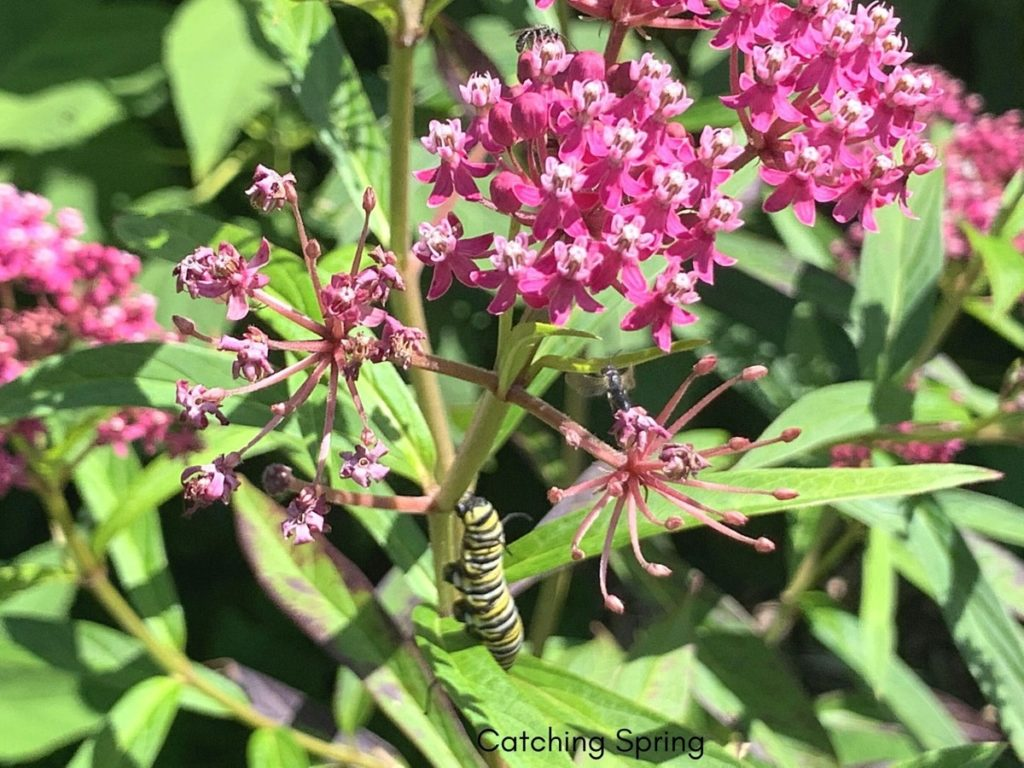 beautiful native plants you need for your Midwest garden milkweed